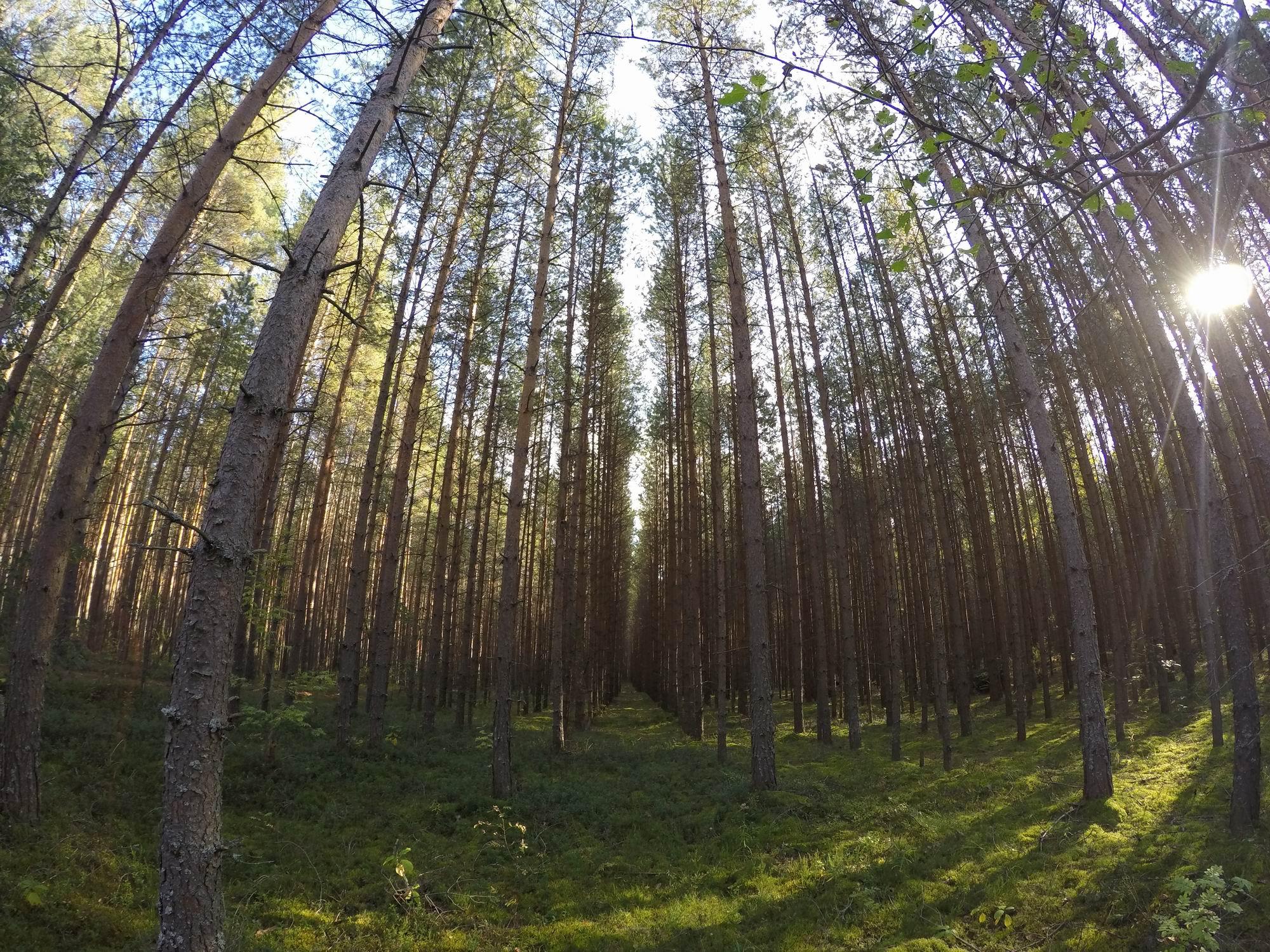Географические культуры сосен и ели в Вологодской области